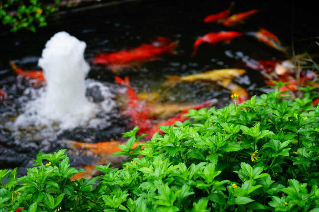 pond with fountain and koi fish